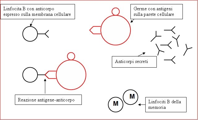 antigene anticorpo