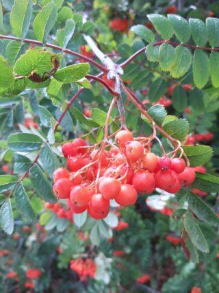 Sorbo degli uccellatori con frutto
